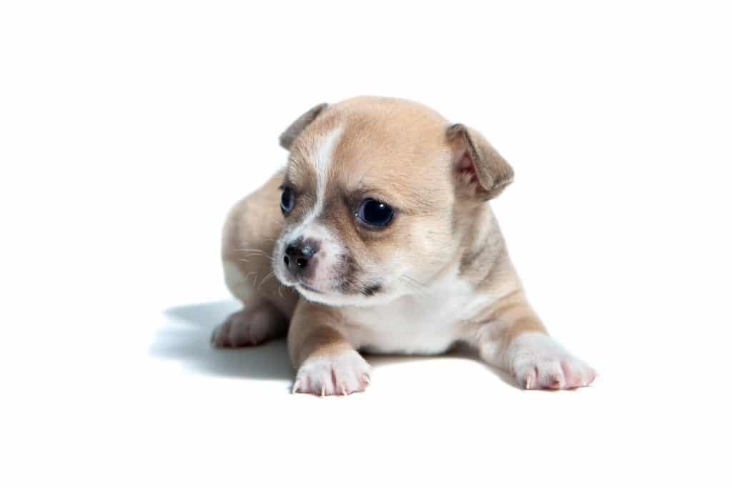 Chihuahua szczeniak
