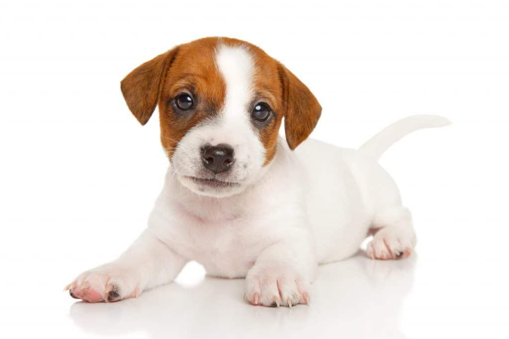 Jack Russell Terrier szczeniak