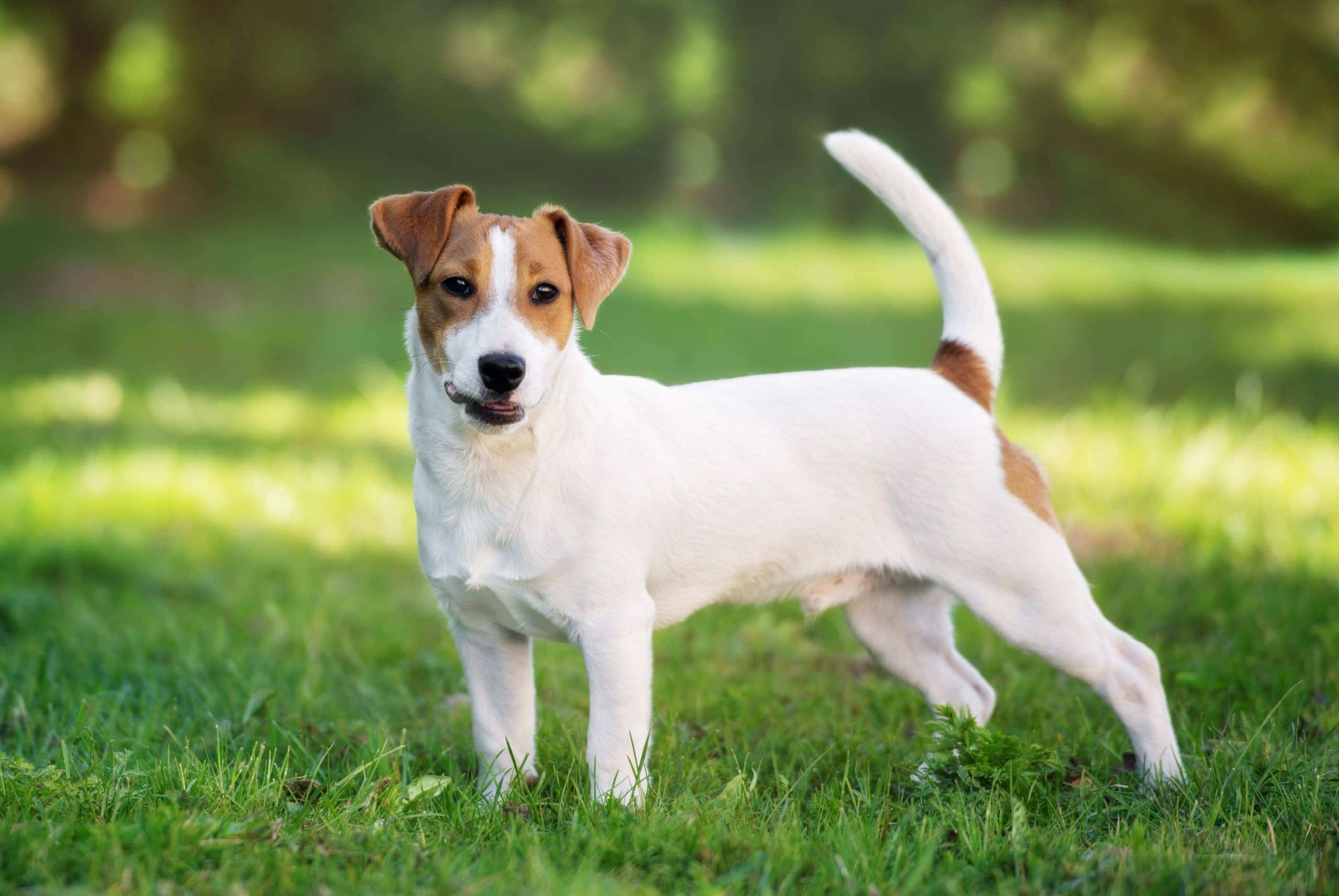 Jack-Russell-dorosly