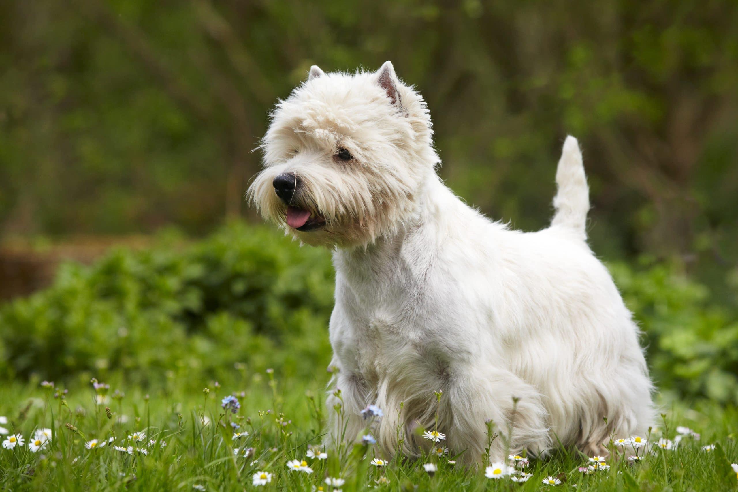 West Highland white terrier dorosly