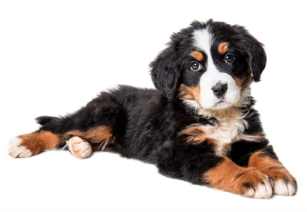 bernenski pies pasterski szczeniak