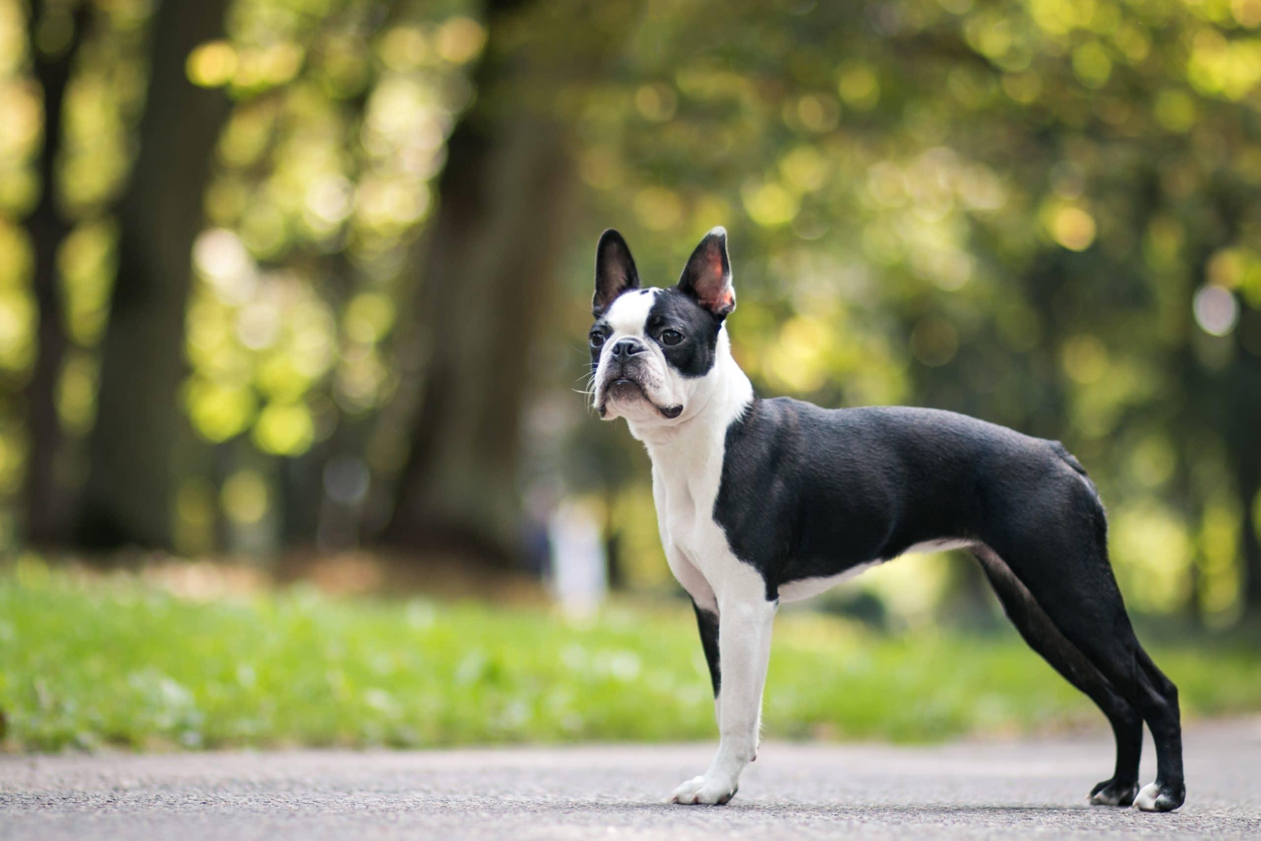 boston terrier dorosly