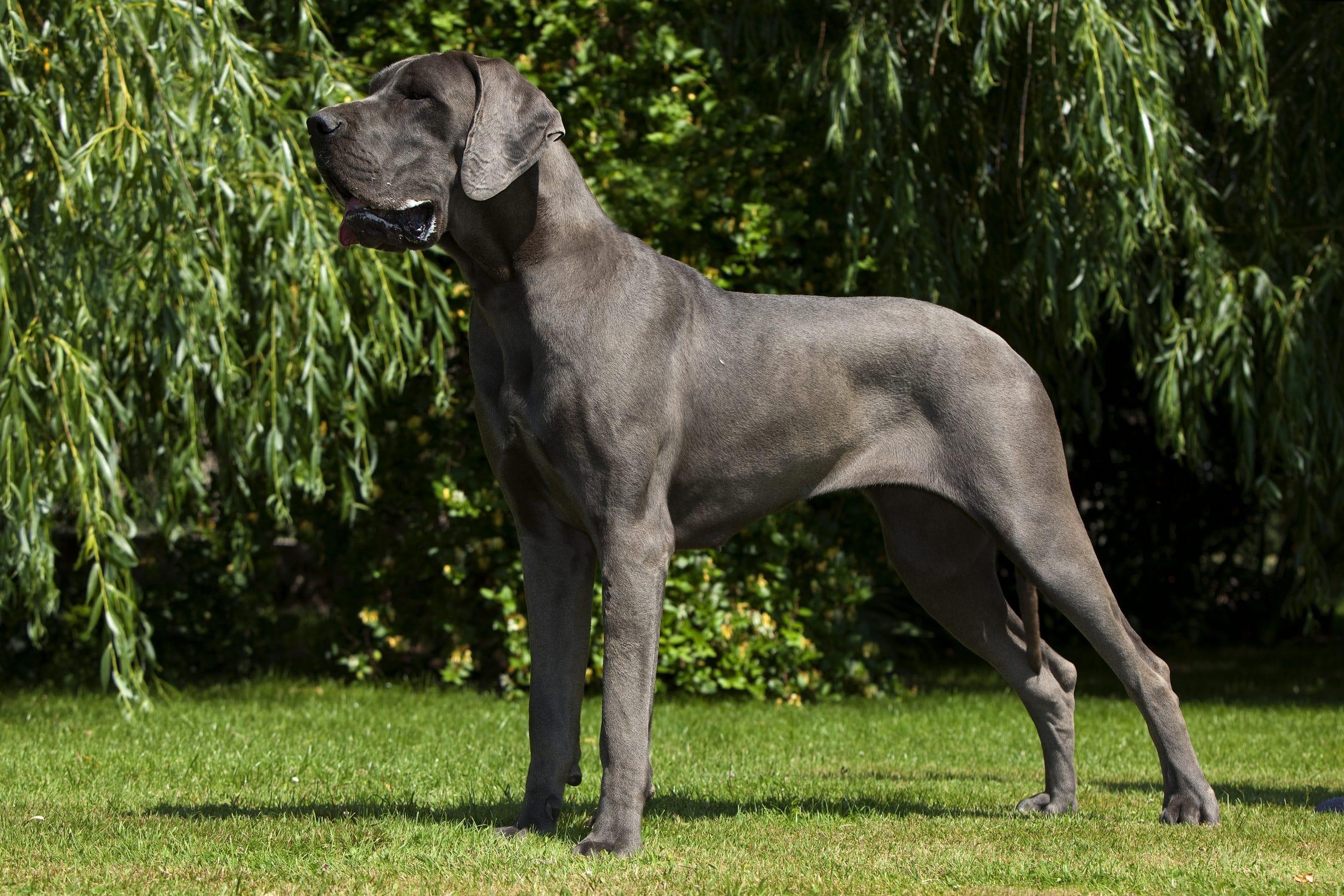 dog niemiecki dorosly
