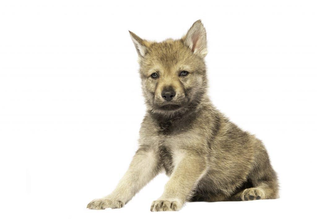 wilczak czechosłowacki szczeniak