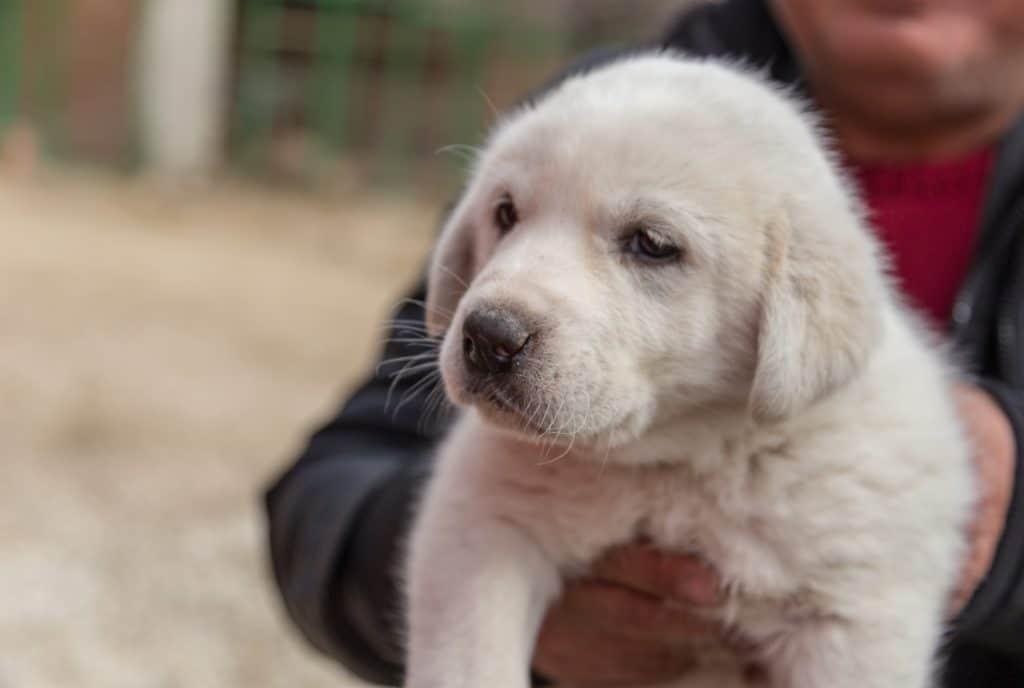 Akbash dog szczeniak
