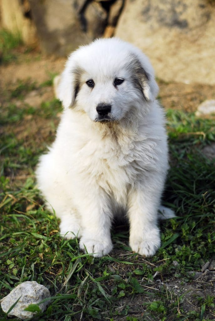 Pirenejski pies gorski szczeniak