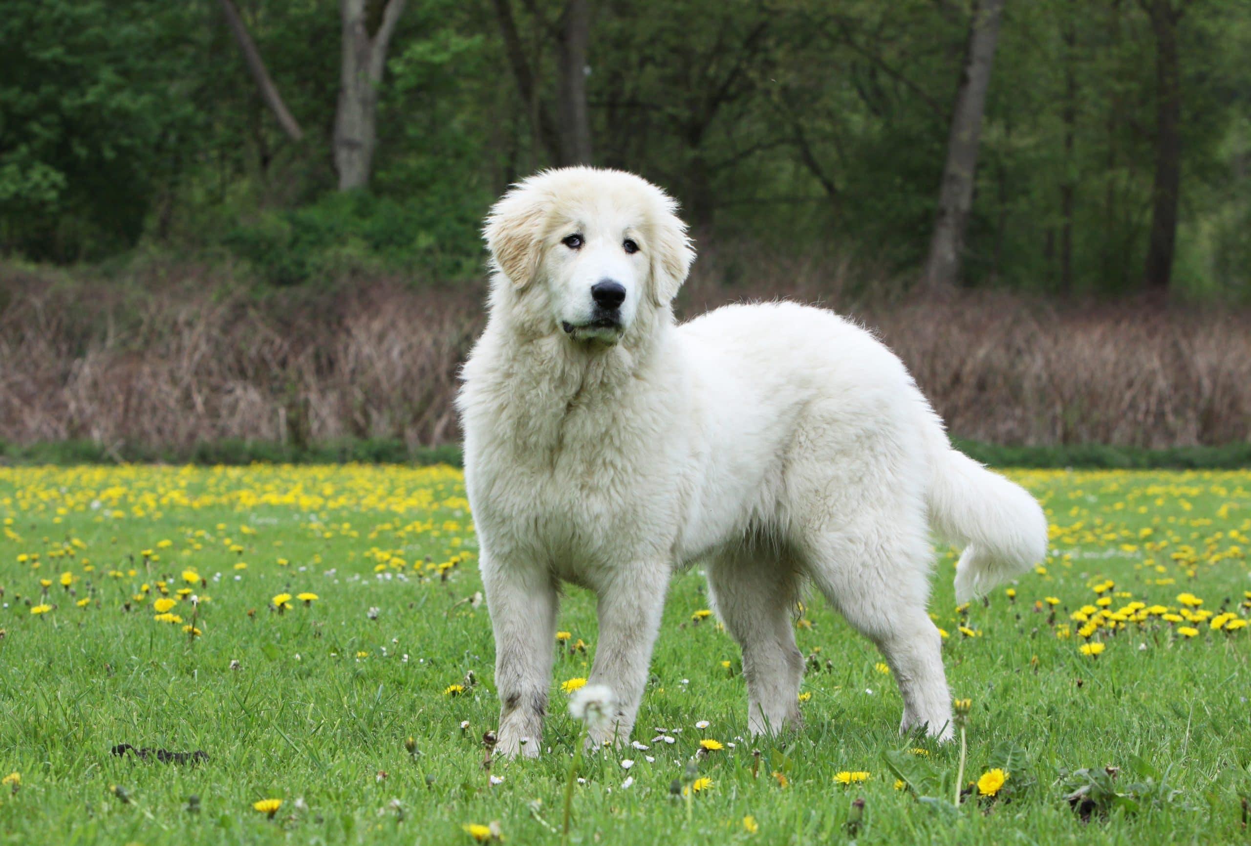 pirenejski pies gorski