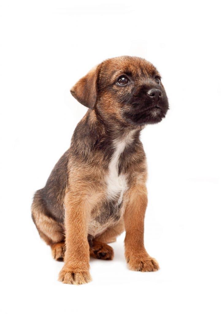 Border terrier szczeniak
