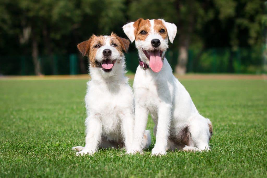 jack russell terrier i parson russel terrier