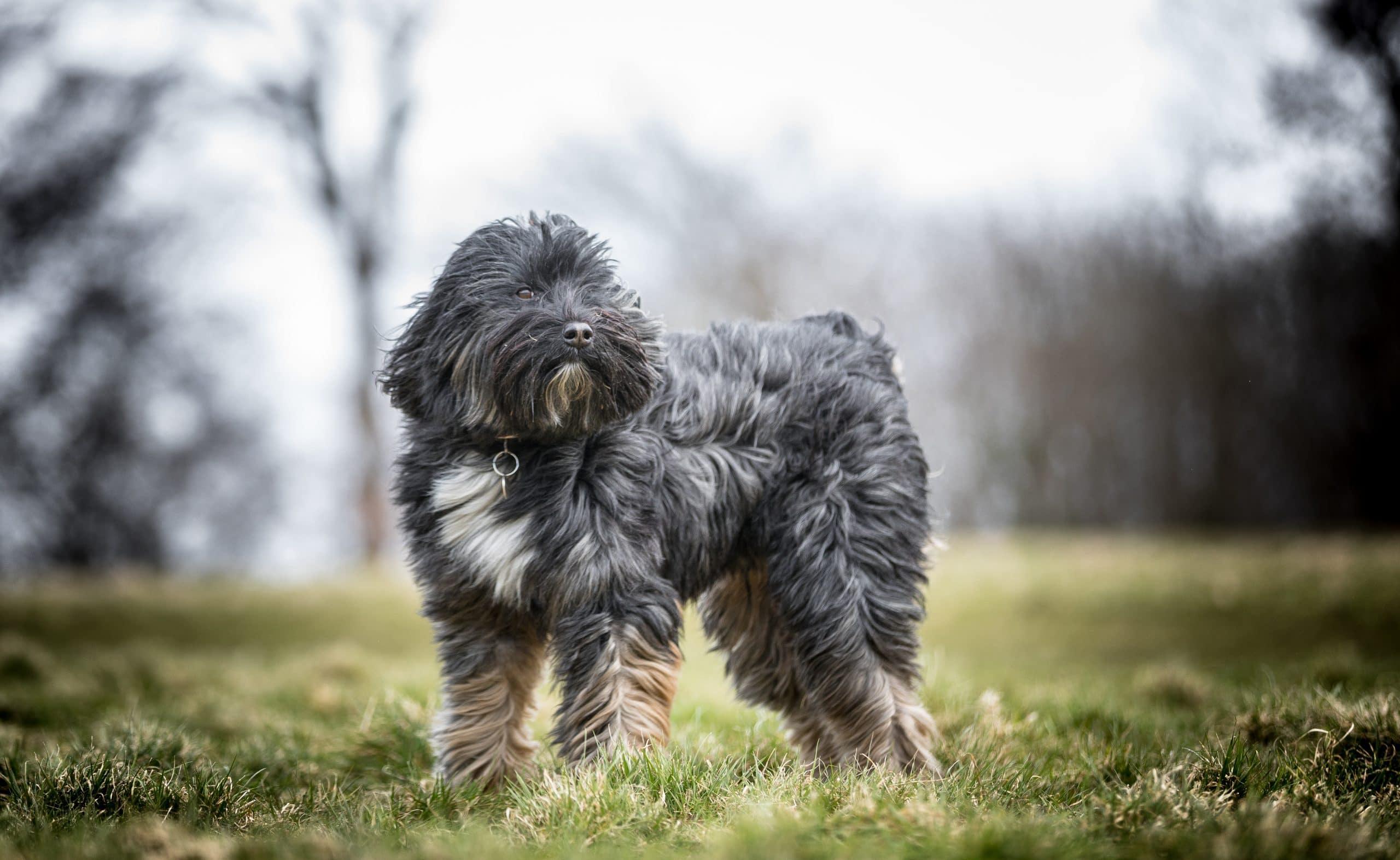 Terrier Tybetanski