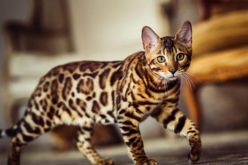 umaszczenie kota bengalskiego
